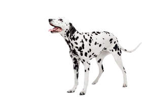 A beautiful young adult Dalmatian standing tall