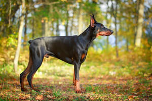 A male Doberman Pinscher showing off his stubby tail and muscular body