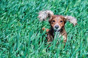 An English Cocker Spaniel bounding through the tall grass