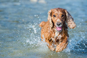 An English Cocker Spaniel enjoying some exercise in the water
