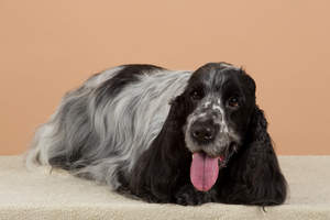 An English Cocker Spaniel with a lovely, long, black and white coat