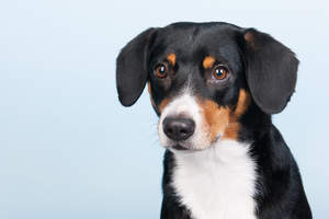 A close up of a young Entlebucher Mountain Dog's incredible beady eyes