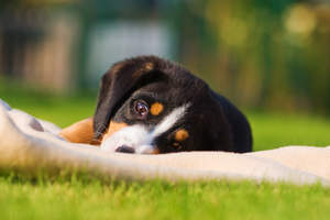 A wonderful little Entlebucher Mountain Dog puppy lying on the grass