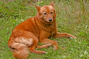 A healthy, adult Finnish Spitz having a rest on the grass