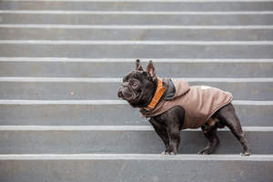 An adult French Bulldog standing tall on some steps