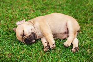 An incredible little French Bulldog puppy sleeping on the grass
