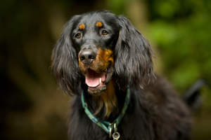A close up of a Gordon Setter's beautiful long ears