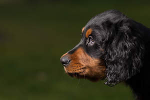 A close up of a Gordon Setter puppy's beautiful eyes and soft ears