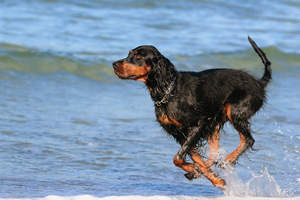 A lovely adult Gordon Setter bounding through the water