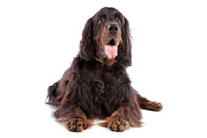 An adult Gordon Setter with a long thick coat and floppy ears