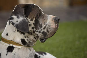 A close up of a spotted Great Dane's beautiful masculine face