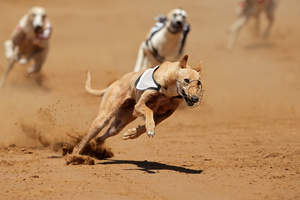 A strong, adult Greyhound sprinting round a sharp corner
