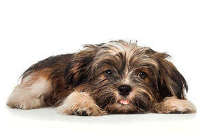 a cute little Havanese puppy with his tongue out
