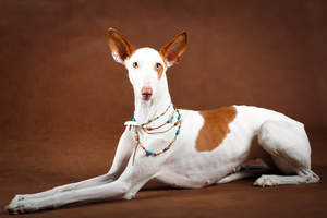 A stunning Ibizan Hound with fantastic big ears