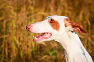 An Ibizan Hound with streamlined ears and a wet nose