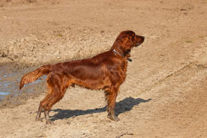 A young, adult Irish Setter enjoying some exercise outdoors