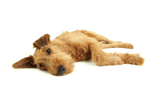 A resting Irish Terrier enjoying its time on the floor