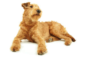 A wiry, young adult Irish Terrier showing off its beautiful red coat