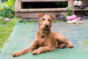 A young Irish Terrier lying down, waiting for some attention