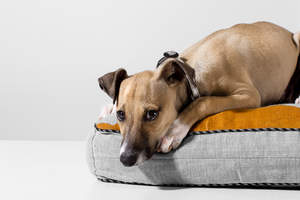 An Italian Greyhound having a deserved rest on it's bed