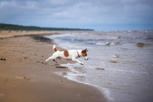 A beautiful, little, female Jack Russell Terrier bounding into the water