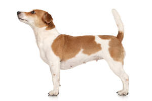 A beautiful, female Jack Russell Terrier standing tall, showing off her short physique