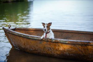 A lovely, little Jack Russell Terrier relaxing in a boat after a swim