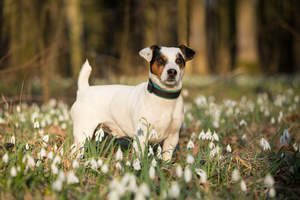 A wonderful Jack Russell Terrier standing tall, showing off it's beautiful, short body