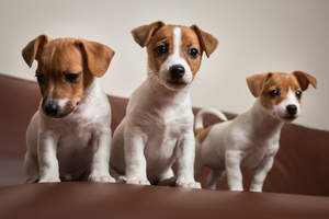 Three beautiful, little Jack Russell Terriers sitting neatly together