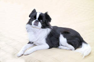 A black and white Japanese Chin lying down, showing off it's beautiful short nose