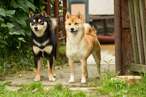 Two healthy adult Japanese Shiba Inus standing tall together