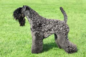 An incredibly groomed Kerry Blue Terrier with a wonderful long, black beard