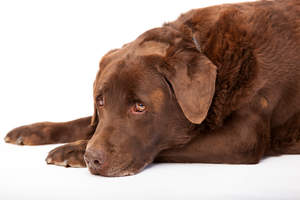 A mature chocolate Lab enjoying a rest on the floor