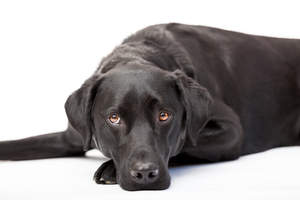 An adult Labrador Retriever resting, enjoying the floor