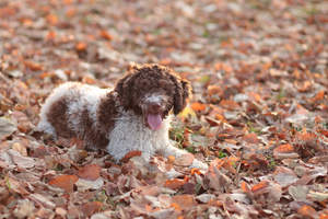 A fun loving Lagotto Romagnolo enjoying the autumn leaves