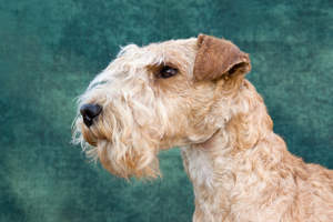 A close up of a Lakeland Terrier's beautiful neat beard