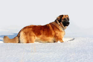 A wonderful, adult Leonberger enjoying some exercise in the snow