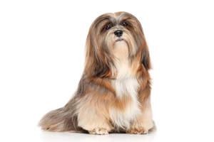 A beautiful adult Lhasa Apso with a long, well groomed coat