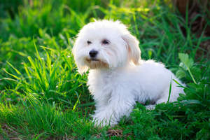 A wonderful, little Maltese puppy with a soft white coat and brown beard