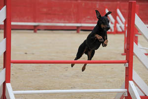 A Manchester Terrier on an agiliy course jumping incredibly high