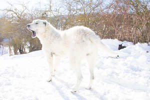 A stunning Maremma Sheepdog out in the snow