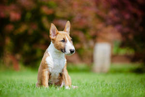 A beautiful, little Miniature Bull Terrier sitting down, resting in the grass