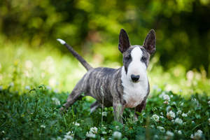 A young Miniature Bull Terrier with big, beautiful pointed ears