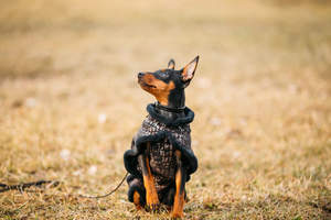 A little Miniature Pinscher out for a walk with his coat on