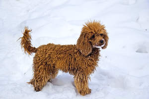 A lovely, little Miniature Poodle enjoying some exercise in the snow