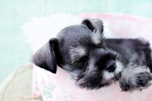 A beautiful, little Miniature Schnauzer with a wiry grey beard and eyebrows