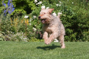 A healthy adult Otterhound bounding across the grass