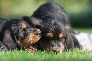 Two wonderful little Otterhound puppies playing on the grass