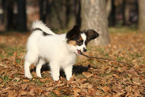 A gorgeous Papillon enjoying the autumn woods