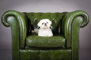 A beautiful, little Pekingese enjoying some time of the sofa